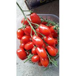 Cherry keř DATTERINO-Sicilie